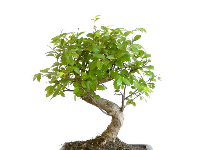Mida teha viltu kasvanud jändrikega